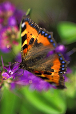 Small tortoiseshell butterfly - 915-1092