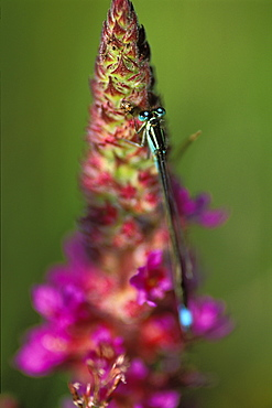 Blue tailed damselfly (Ischnura elegans) perched on purple loosestrife     (rr)