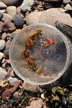 Sandhoppers in collecting jar, A level students doing a sandhopper survey, Castle Bay, Dale, Pembrokeshire, Wales, UK, Europe