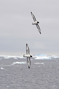 A pair of Cape Petrels, Daption capense, soaring with icebergs in the background, Weddell Sea, Antarctica.