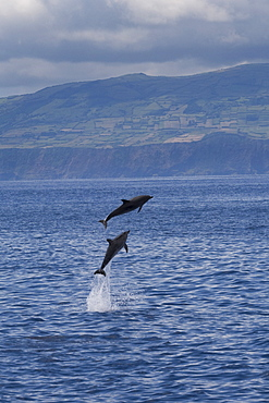 Atlantic Spotted Dolphin (Stenella frontalis) two animals breach simultaneously with the Island of Faial in the background. Azores, Atlantic Ocean.