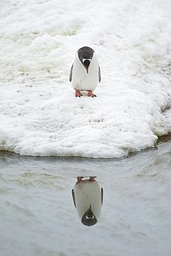 Gentoo penguin (Pygoscelis papua) staring at reflection. Neko Harbour, Antarctic Peninsula, Antarctica, Polar Regions