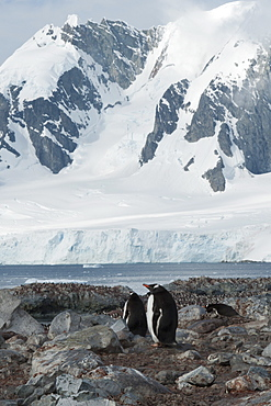 Gentoo penguins (Pygoscelis papua) with colony and mountains in background, Antarctic Peninsula, Antarctica, Polar Regions