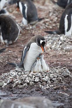 Adult Gentoo penguin (Pygoscelis papua) and chicks on nest, Neko Harbour, Antarctic Peninsula, Antarctica, Polar Regions