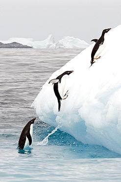 Adelie penguins (Pygoscelis adeliae) group jumping on iceberg, Antarctic Peninsula, Antarctica, Polar Regions