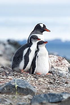 Gentoo penguin adult and chicks (Pygoscelis papua), Hannah Point, South Shetland Islands, Antarctica, Polar Regions