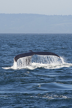 Humpback whale (Megaptera novaeangliae) fluking, Monterey, California, United States of America, North America