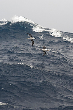 A pair of Black browed Albatross, Thalassarche melanophrys, gliding over large waves, Drake Passage, Southern Ocean