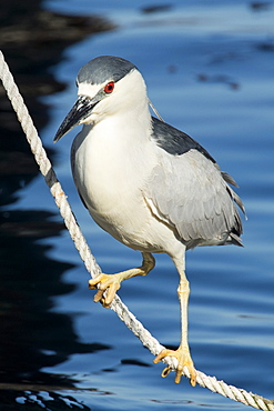 Black crowned night heron, Nycticorax nycticorax, Monterey, California, Pacific Ocean