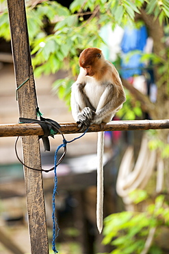 Proboscis monkey (Nasalis larvatus). young female kept captive as pet, East Kutai Regency, East Kalimantan, Borneo, Indonesia, Southast Asia, Asia