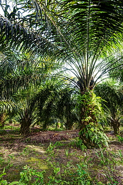 African oil palm (Elaeis guineensis) in an oil palm plantation. HDR photo. East Kalimantan, Borneo, Indonesia, Southeast Asia, Asia