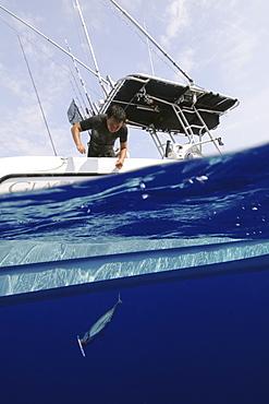 Fisherman pulls skipjack tuna hooked in fishing line, Katsuwonus pelamis, Kailua-Kona, Hawaii, United States of America, Pacific