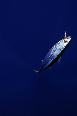 Skipjack tuna hooked in fishing line, Katsuwonus pelamis, Kailua-Kona, Hawaii, United States of America, Pacific