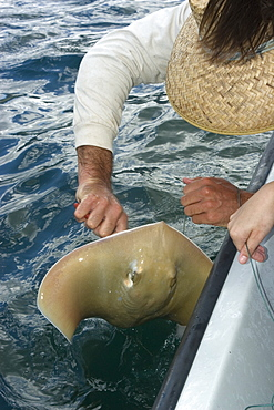 Research scientist catching stingray, Kaneohe bay, Oahu, Hawaii, United States of America, Pacific