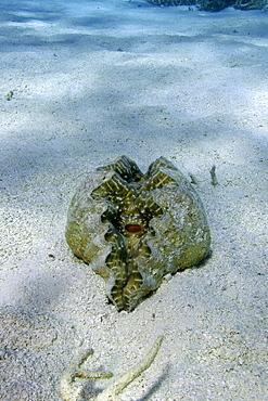 Horseshoe clam (Hippopus hippopus) on sandy bottom, Namu atoll, Marshall Islands, Pacific