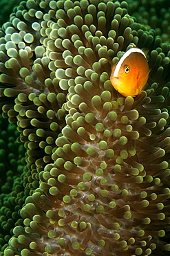 Orange anemone fish (Amphiprion sandaracinos) and Merten's sea anemone (Stichodactyla mertensii), Dauin, Dumaguete, Negros Island, Philippines, Southeast Asia, Asia