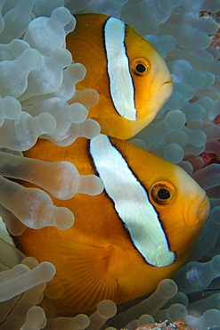 Pair of endemic three-banded anemonefish (Amphiprion tricinctus) and bulb anemone (Entacmaea quadricolor), Namu atoll, Marshall Islands, Pacific