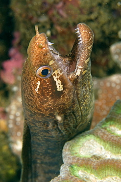 Barred-fin moray (Gymnothorax zonipectis) foraging at night, Dumaguete, Negros, Philippines, Southeast Asia, Asia