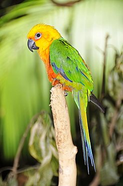 Jandaya parakeet (Aratinga jandaya), Foz do Iguaµu, Parana, Brazil, South America