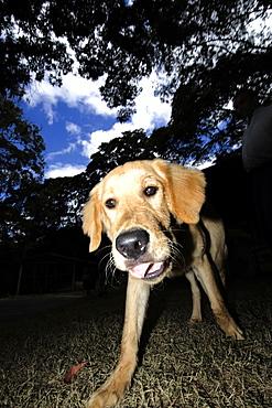 Golden retriever dog having fun outdoors, Vicosa, Minas Gerais, Brazil, South America