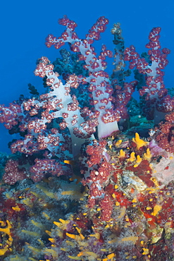 Scleronephthya, soft coral, Southern Thailand, Andaman Sea, Indian Ocean, Southeast Asia, Asia