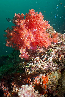 Red dendronephthya, soft coral, SouthernThailand, Andaman Sea, Indian Ocean, Southeast Asia, Asia