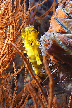 Thorny seahorse (Hippocampus hystrix), Southern Thailand, Andaman Sea, Indian Ocean, Southeast Asia, Asia
