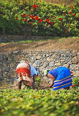 Botanic Gardens, 03/04/2009. São Jorge government sponsored research centre and Botanic Gardens, Women picking strawberries. Praia, Sao Tiago Island. Cape Verde