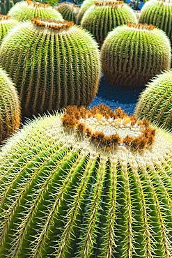 Cactus, Plant, Spines. Arrecife, Jardin De Cactus, Cactus Garden, Lanzarote. Canary Islands