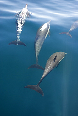 Common dolphins (Delphinus delphis) Gulf of California.A trio of common dolphin in various stages of exhaling.
