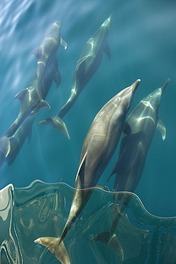 Bottlenose dolphin (tursiops truncatus) Bowriding dolphins in the reflective waters of a calm day. Gulf of California.