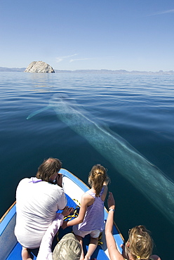 Blue whale (balaenoptera musculus) A blue whale passes beside a tourist boat. Gulf of California.