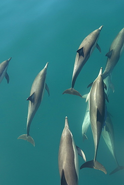 Common dolphins (delphinus delphis.Common dolphins bow riding. Gulf of California.