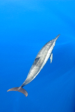 Atlantic spotted dolphin (stenella frontalis)  . A spotted dolphin in a calm sea. Eastern Caribbean