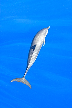 Atlantic spotted dolphin (stenella frontalis)  . A spotted dolphin with a small pink spot to the left side of its dorsal fin. Eastern Caribbean