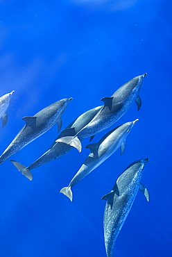 Spotted dolphins (Stenella frontalis) in silky water, Azores, Portugal, Atlantic, Europe