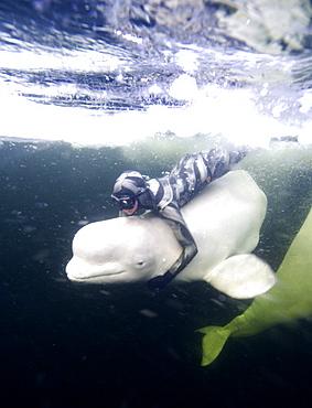 beluga whale in the white sea with Julia Petrik