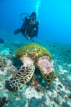 Diver and Hawksbill turtle, Dimaniyat Islands, Gulf of Oman, Oman, Middle East