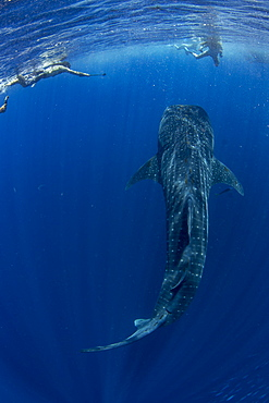 Tourists snorkelling with a whale shark (Rhincodon typus) in Honda Bay, Palawan, The Philippines, Southeast Asia, Asia