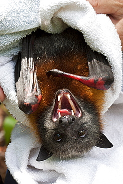 Male grey-headed flying-fox (Pteropus poliocephalus) with electrocution burns to both wrists and thumbs, Hopkins Creek, New South Wales, Australia, Pacific