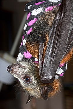 Juvenile grey-headed flying-fox (Pteropus poliocephalus) wearing protective jacket to support fixated fractured radius, Hopkins Creek, New South Wales, Australia, Pacific