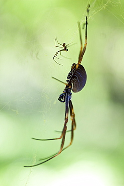 Female coastal golden orb-weaver spider (Nephila plumipes) and attending male, Hopkins Creek. New South Wales. Australia, Pacific