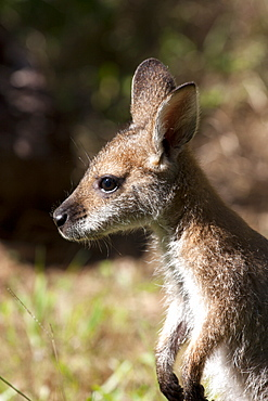 Hand-reared female red-necked wallaby joey (Macropus rufogriseus) 9 months standing, Eungella, New South Wales, Australia, Pacific