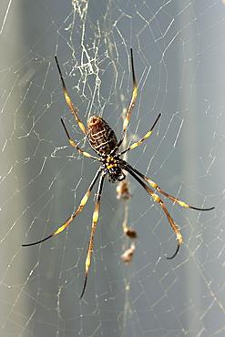 Female coastal golden orb-weaver spider (Nephila plumipes) web, Hopkins Creek. New South Wales. Australia, Pacific