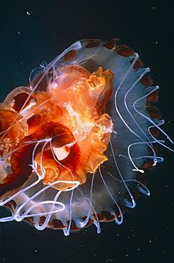 Compass Jellyfish (Chrysaora hysoscella) glowing at night. UK.