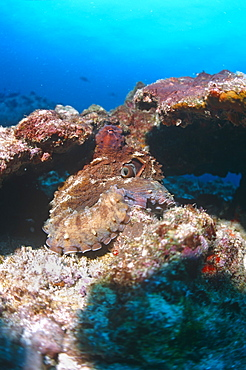 Octopus (Octopus vulgaris) showing incredible camouflage technique by hiding in reef. Cayman Islands.