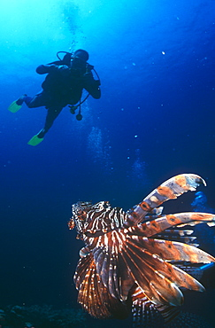 Large Lion fish looking up at diver sillouette. Thailand.