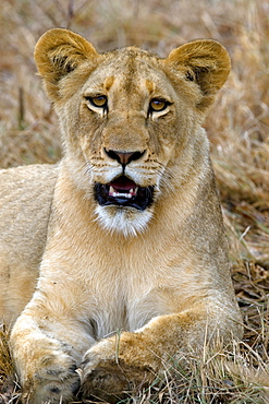 African Lion (Panthera Leo) wild cub. Phinda Reserve, South Africa.