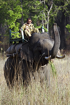 Asian Elephant, Indian Elephant and Mahout (Elephus maximus indicus) captive adult male and Mahout. Bandhavgarh Tiger Reserve, India,