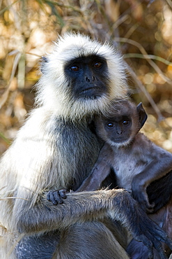 Common Langur Monkey (Semnopithecus entellus) wild adult female with juvenile. Bandhavgarh Tiger Reserve, India